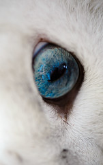 Hello (Blochmntig) Tags: blue cats eye feline chat katze katzen whitecat kater blueeye britishshorthair cateye catposing bkh blaueaugen katzenaugen britischkurzhaar frameit weissekatze catmoments catinpose mygearandme mygearandmepremium rememberthatmomentlevel1