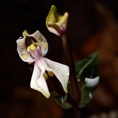 DisperisFH2_0342 20130323 1207 tripetaloïdes (evideerf2002) Tags: nature réunion wildorchid orchidéesauvage disperis