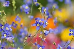 /Heliophila longifolia (nobuflickr) Tags: flower nature japan kyoto thekyotobotanicalgarden  heliophilalongifolia persephonesgarden   20130306dsc01650