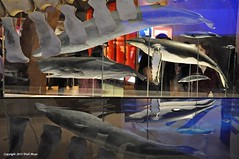 Whales and Reflections (Trish Mayo) Tags: reflections exhibit whales amnh americanmuseumofnaturalhistory whalebones