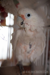 IMG_5325 (ReverieRevel) Tags: pet bird parrot boo cockatoo wetbird wetpet goffinscockatoo wetparrot