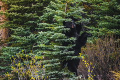 Black bear encounter (Francesco Patroncini Photography) Tags: blackbear encounter bear nikon nikond5300 nature landscape trees tree animals wildlife