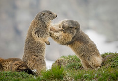 Marmotte litigiose (marypink) Tags: ceresolereale parconazionalegranparadiso valleorco piemonte marmotte marmot mammalia rodentia sciuridae xerinae marmotini nikond7200 nikkor80400mmf4556