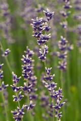 Lavender (RaminN) Tags: lavender macro