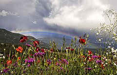 After the Storm (Patty Bauchman) Tags: poppies wildflower flowers rainbow summerstorm weather landscape nature cameraclubofbozeman stormcloud