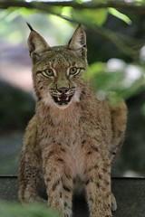 Luchs (c4harry) Tags: natur tiere wald wildtierpark edersee kellerwald kosystem luchs