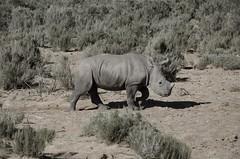 Rhino (martaD7000) Tags: rhino safari