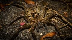 Sparassidae (dustaway) Tags: arthropoda arachnida araneae araneomorphae sparassidae australianspiders huntsman night tamborinemountain sequeensland queensland australia nature
