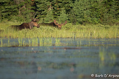 Friends (naturethroughmyeyes.com) Tags: bull moose bullmoose nature wildlife outdoors summer wildlifephotographer naturephotographer naturethroughmyeyescom barbaralynne copyrightbarbdarpino barbaralynnedarpino barbdeardendarpino algonquinprovincialpark ontario canada northamerica