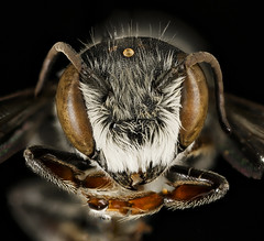 Megachile exilis, m, face, Pr. George's Co., MD_2016-03-16-00.05 (Sam Droege) Tags: zerenestacker stackshot geologicalsurvey unitedstatesgeologicalsurvey departmentoftheinterior droege biml beeinventoryandmonitoringlaboratory bug bugs canon closeup macro insect patuxentwildliferesearchcenter pwrc usgs dofstacking stacking canonmpe65 taxonomy:binomial=megachileexilis bee bees apoidea hymenoptera pollinator nativebee