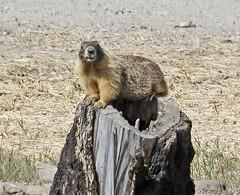 _Q8A0849OkanaganYellowBelliedMarmotSmall (birdbug3) Tags: marmota flaviventris