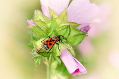 Gemeine Feuerwanze (inge_rd) Tags: pyrrhocoris marginatus feuerwanze feuerkfer wanze rote schuserkfer bug insekt insect