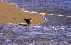 Seagull on the Seashore (F.emme) Tags: beach huntingtonbeach gulls seagulls pacificocean ocean