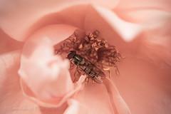 Fuji x-t10 pentacon 30mm (Jasrmcf) Tags: fuji fujinon fujifilm fujixt10 fujimacro macro pentacon 30mm dof depthoffield bokeh bokehlicious bokehgraph beautiful rose pink dreamy flower flowers garden insects nature
