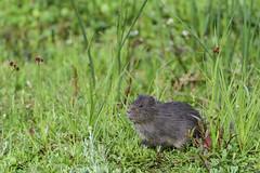 Cur - Cavia anolaimae (Fredy Gmez Suescn) Tags: caviaanolaimae humedal animal cobaya cuy rodentia roedor cur