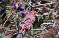 Eating Flowers (robinlamb1) Tags: bird animal nature finch housefinch butterflybush flowers eatingflowers outdoor