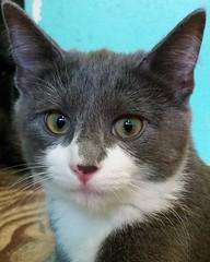 Yolando (DDA1) Tags: saveapetilorg adoption adoptioncenter adoptionshelter adoptable adopt kitten foster fiv fivcat