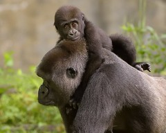 Happy on Mommys Back (021532) (Mike S Perkins) Tags: gorilla baby mother infant riding love caring