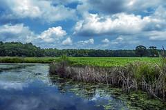 This is Virginia Beach, too 014 (cbonney) Tags: virginia beach muddy creek road sky farm farmland swamp fields water pond rural pleasant ridge