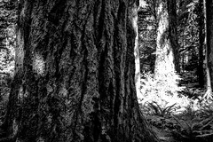 Cathedral Grove 8 (chriswalts) Tags: cathedralgrove vancouverisland canada travel tourism tress forrest blackandwhite