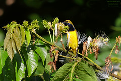 Olive-backed Sunbird (Nectarinia jugularis) Near Cairns, Australia 2016 (Ricardo Bitran) Tags: nectariniajugularis olivebackedsunbird nearcairns australia