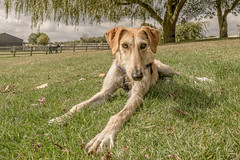 Spen (2 of 2) (d3max) Tags: 5dmk3 canine canon charity dogs martinhillphotography rehoming rescue volunteering woodgreenanimalcharity