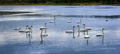 The Gathering (Traylor Photography) Tags: pond avian gathering flock denalihighway cantwell migration birds swans alaska elegant migrate paxson panorama