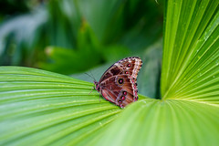 A beautiful butterfly at RHS Wisley Gardens. (Jenny.Lawrence) Tags: nature butterfly butterflies green leaves rhs wisley sony sonyalpha a7