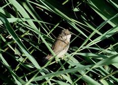Junger Sumpfrohrsnger , NGID1818396466 (naturgucker.de) Tags: ngid1818396466 naturguckerde sumpfrohrsngeracrocephaluspalustris zingst hafenmggenburg carmindreisbach