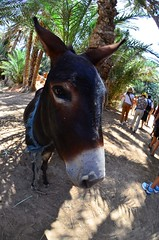 2011.08.23 12.30.24.jpg (Valentino Zangara) Tags: donkey flickr morocco meknestafilalet marocco ma