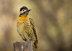 Carpintero Real - Colaptes melanochloros - Green-barred Woodpecker (Jorge Schlemmer) Tags: carpinteroreal colaptesmelanochloros greenbarredwoodpecker mayusumaj crdoba argentina birdwatcher