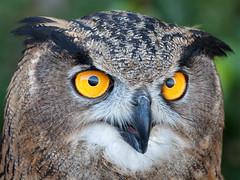 Eagle Owl stare... (Glenn van Windt) Tags: bubobubo aves bird vogel birdofprey roofvogel owl uil eagleowl oehoe portrait raptor nature natuur canonef300mmf28lisusm