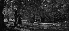 Rio abajo (Blas Torillo) Tags: sanagustnahuehuetla puebla mxico mexico ro river amanecer dawn rboles trees ahuehuetes naturaleza nature ramas branches blancoynegro byn bn blackandwhite bw bnw paisaje landscape belleza beauty fotografaprofesional professionalphotography fotgrafosmexicanos mexicanphotographers nikon coolpix p500 nikonp500 coolpixp500 nikoncoolpixp500