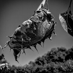 Drooping Sunflower #2 (Jack Sacramento) Tags: bw blackandwhite canon sl1 digital photoshop silverefex california usa