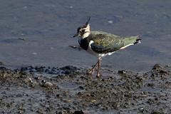 Catching The Light. (stonefaction) Tags: birds nature wildlife eden estuary scotland guardbridge lapwing