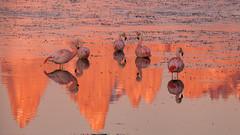 Pink morning (eMinte) Tags: awasi flamingo avesdechile torresdelpaine patagonia birds
