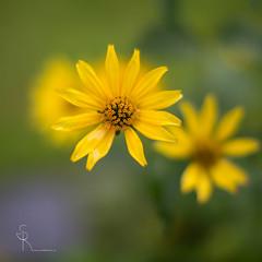 Flower power... (SteffPicture) Tags: flower blume 50mm f12 canoneos5dmarkiii canon bokeh naturebokeh steffpicture