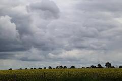 clouds and the canola paddocks_8399 (gervo1865_2 - LJ Gervasoni) Tags: country landscape pyrenees hwy between carisbrook newstead canola farming paddocks victoria australia 2016