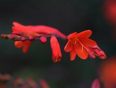 orange (Suzanne's stream) Tags: orange flower blume beautiful schn sommer summer macro