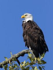 Patient eagle (Robertmoose) Tags: eagle bald perch coquitlam pittriver