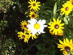 WhiteBlackEyedSusan (Brandon Blahnik) Tags: blackeyedsusan white albino flower