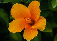 Flor de hibisco  amarilla (Porschista) Tags: portinatx eivissa balears flor flo fleur flower hibisco hybiscus
