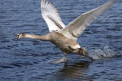 Mute Swan (themadbirdlady) Tags: muteswan anseriformes anatidae cygnusolor airthreyns8096 swan bird flight birdinflight water splash
