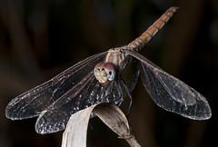 alas majestuosas (Santi BF) Tags: bug insect dragonfly bicho liblula insecto odonata libllula odonato anisptero