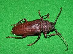 Cerambycidae Prioninae>Eurynassa australis Wattle Root Longicorn DSCF2948 (Bill & Mark Bell) Tags: exmouth westernaustralia australia geo:town=exmouth geo:state=westernaustralia geo:country=australia geo:lon=11425453egeolat2217752sgeoalt8m 11425453e2217752salt8m taxonomy:kingdom=animalia animalia taxonomy:phylum=arthropoda arthropoda taxonomy:class=insecta insecta taxonomy:order=coleoptera coleoptera taxonomy:family=cerambycidae cerambycidae taxonomy:genus=eurynassa eurynassa taxonomybinomialnameeurynassaaustralis eurynassaaustralis taxonomycommonnamewattlerootlongicorn wattlerootlongicorn australis insect animal fauna taxonomy:subfamily=prioninae prioninae beetle