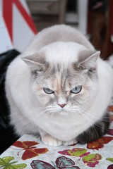 045 (piaktw) Tags: cat breed britishshorthair colourpoint ztina luddkolts bluetortietabby ztinasezincote