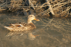 Female Mallard (SneakyBane) Tags: summer orange brown ontario canada reflection bird eye 20d water animal female creek swim canon river eos march duck sticks wings waves branch mud rebecca branches watch beak feathers feather conservation bank canoneos20d reflect area stick mallard ripples float creature f28 markings brampton 200mm 2013 clairevilleconservationarea claireville idzerda rebeccaidzerda