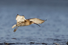 Curlew (birdtracker) Tags: beach flying flight ayr waders curlew wader flyingbird doonfoot markmedcalf markmedcalfphotography