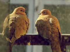 guests on my balcony (masou:D) Tags: bird balcony pair  mates
