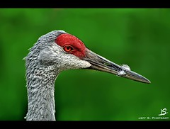 Some nice details on this Sandhill Crane